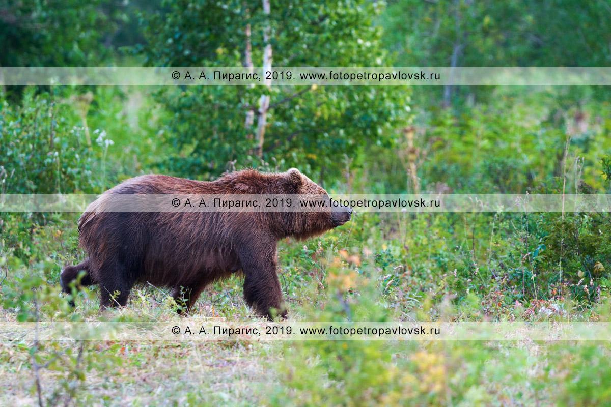 Фотография: бурая медведица гуляет по летнему лесу в Камчатском крае