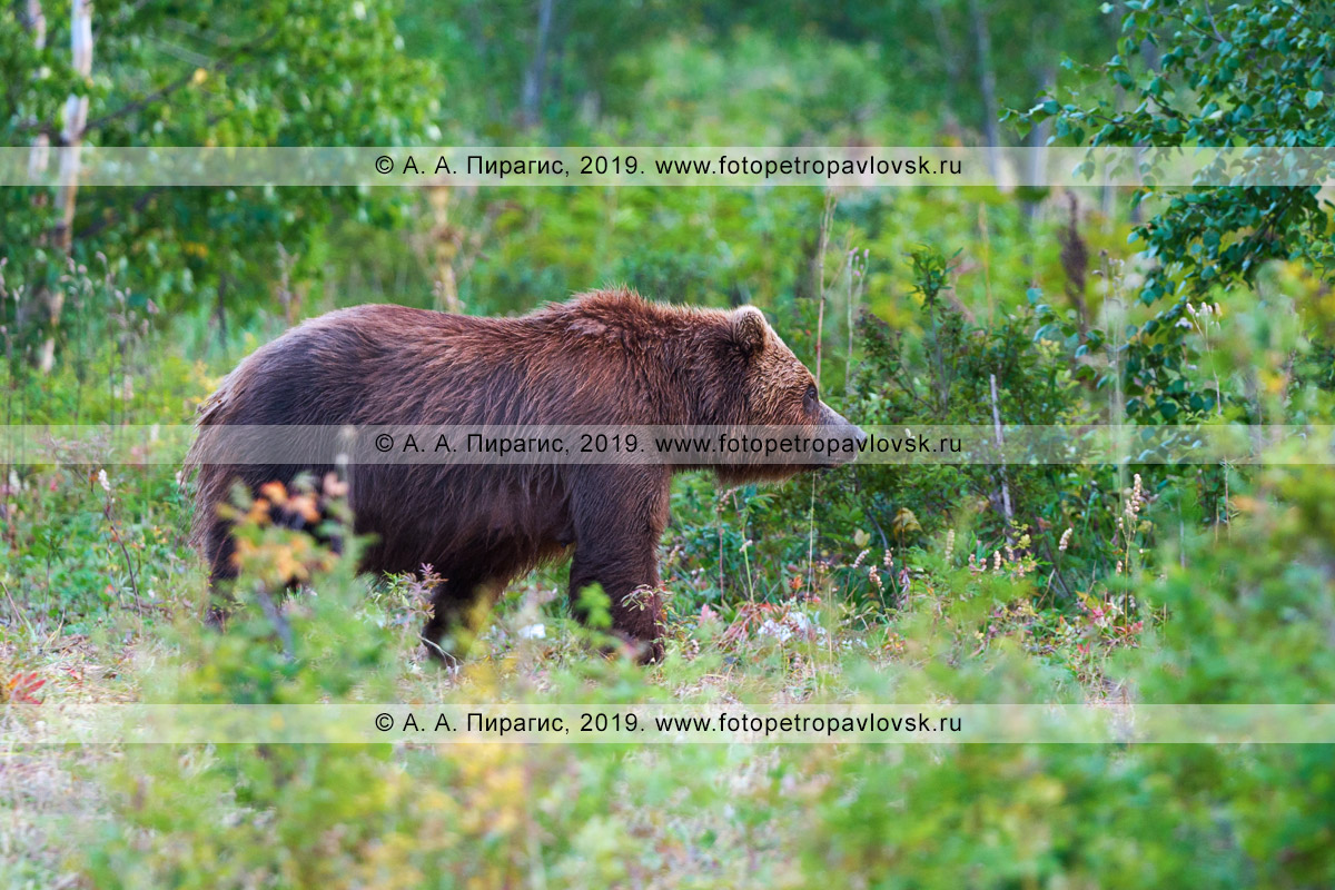 Фотография: самка камчатского бурого медведя гуляет по летнему лесу в Камчатском крае