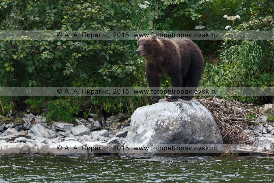 Фотография: фауна полуострова Камчатка — камчатский бурый медведь (Ursus arctos piscator)