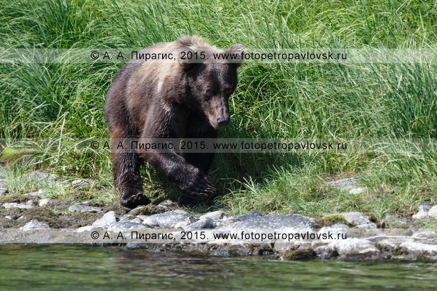 Фотография: камчатский бурый медведь (Ursus arctos piscator). Полуостров Камчатка