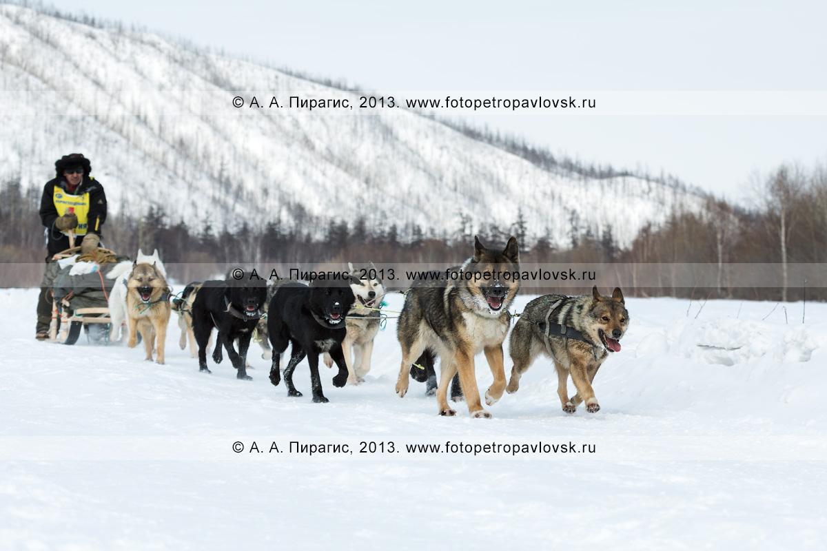 """Фотография: собачья упряжка бежит по трассе камчатской гонки на собачьих упряжках """"Берингия"""". Полуостров Камчатка"""