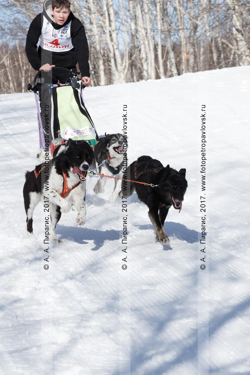 """Фотография: камчатская детская гонка на собачьих упряжках""""Дюлин"""" (""""Берингия""""), юный камчатский каюр Ревенок Никита (Эссо),ездовые собаки: а/е Дик, Майа, Смурф, Пятнашка"""