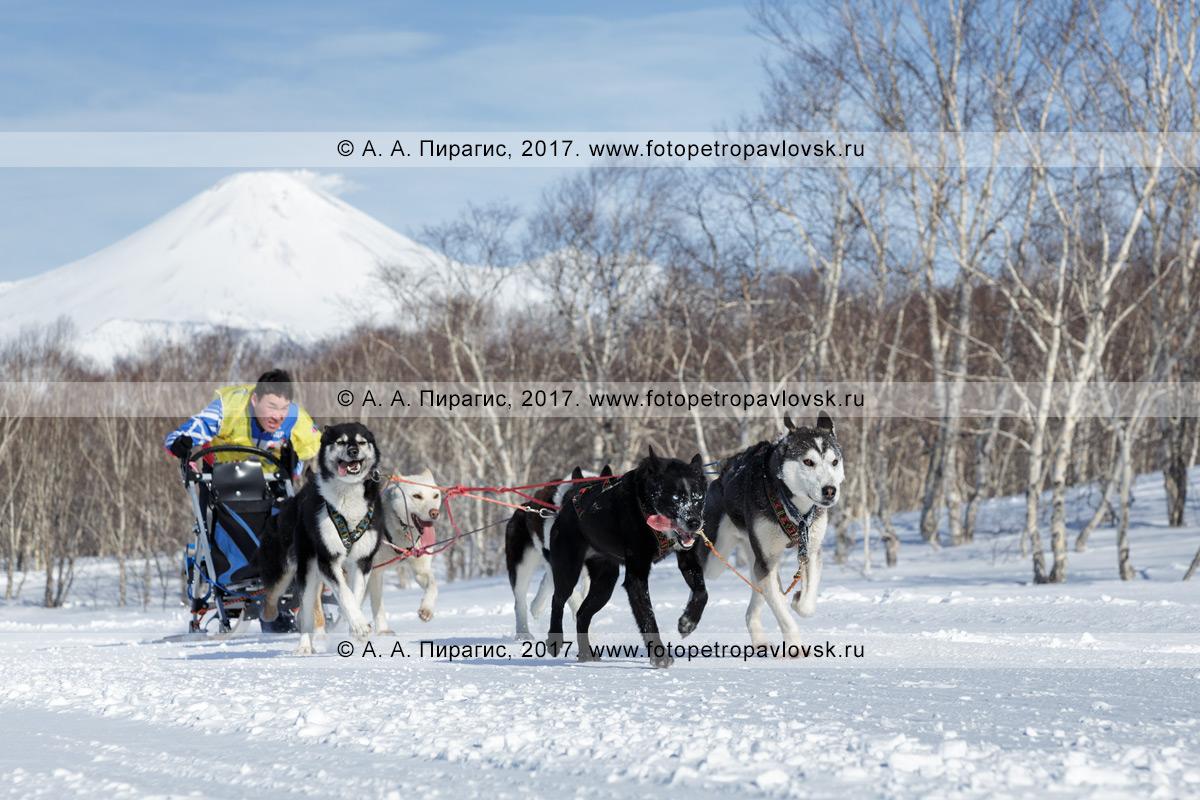 Фотография: каюр Виталий Тишкин управляет собачьей упряжкой (аляскинские хаски), бегущей по шахме в зимнем лесу, на фоне действующего Авачинского вулкана на полуострове Камчатка