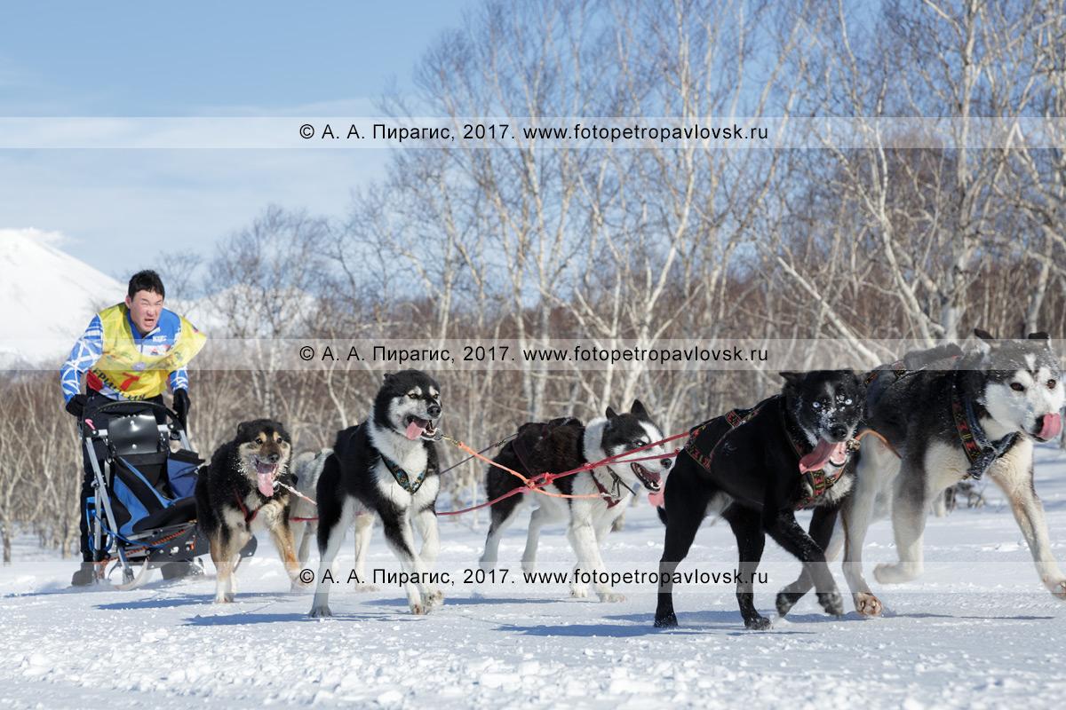 Фотография: каюр Тишкин Виталий мчится на собачьей упряжке аляскинских хаски по шахме в зимнем камчатском лесу