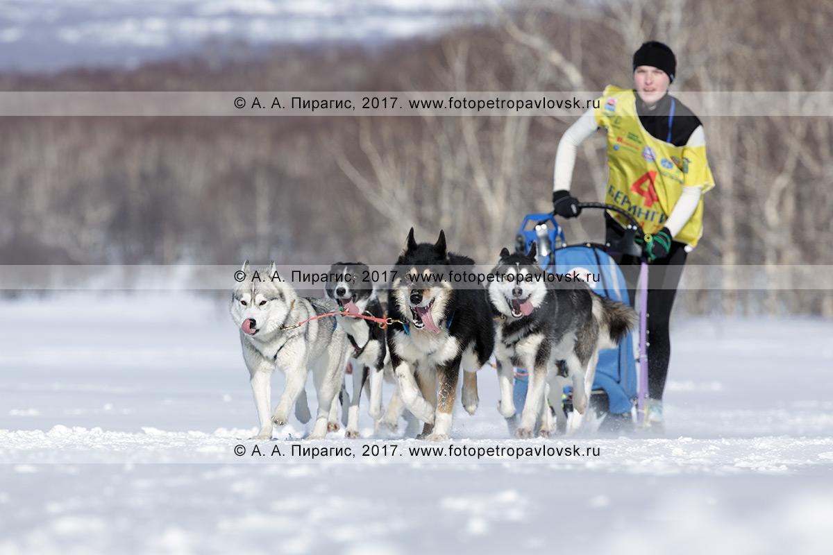 Фотография: сибирские хаски и камчатские ездовые собаки упряжки каюра Юлии Чирухиной бегут по шахме в зимнем камчатском лесу в ясный солнечный день.