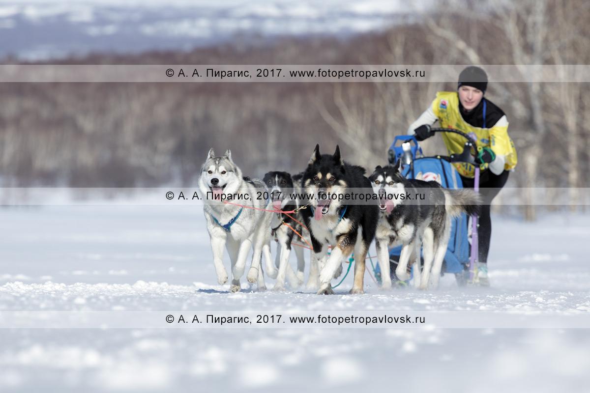 Фотография: камчатский каюр Чирухина Юлия мчится на собачьей упряжке камчатских ездовых собак и сибирских хаски по шахме в зимнем лесу в солнечную погоду