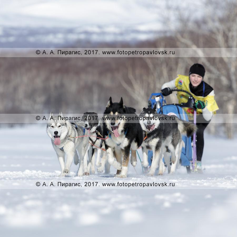 Фотография: каюр Чирухина Юля управляет собачьей упряжкой камчатских ездовых собак и сибирских хаски во время проведения соревнований по снежным дисциплинам ездового спорта на полуострове Камчатка