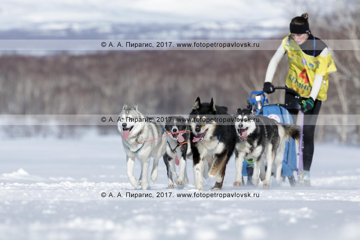Фотография: участница соревнований по снежным дисциплинам ездового спорта камчатский каюр Чирухина Юлия мчится на собачьей упряжке камчатских ездовых собак и сибирских хаски