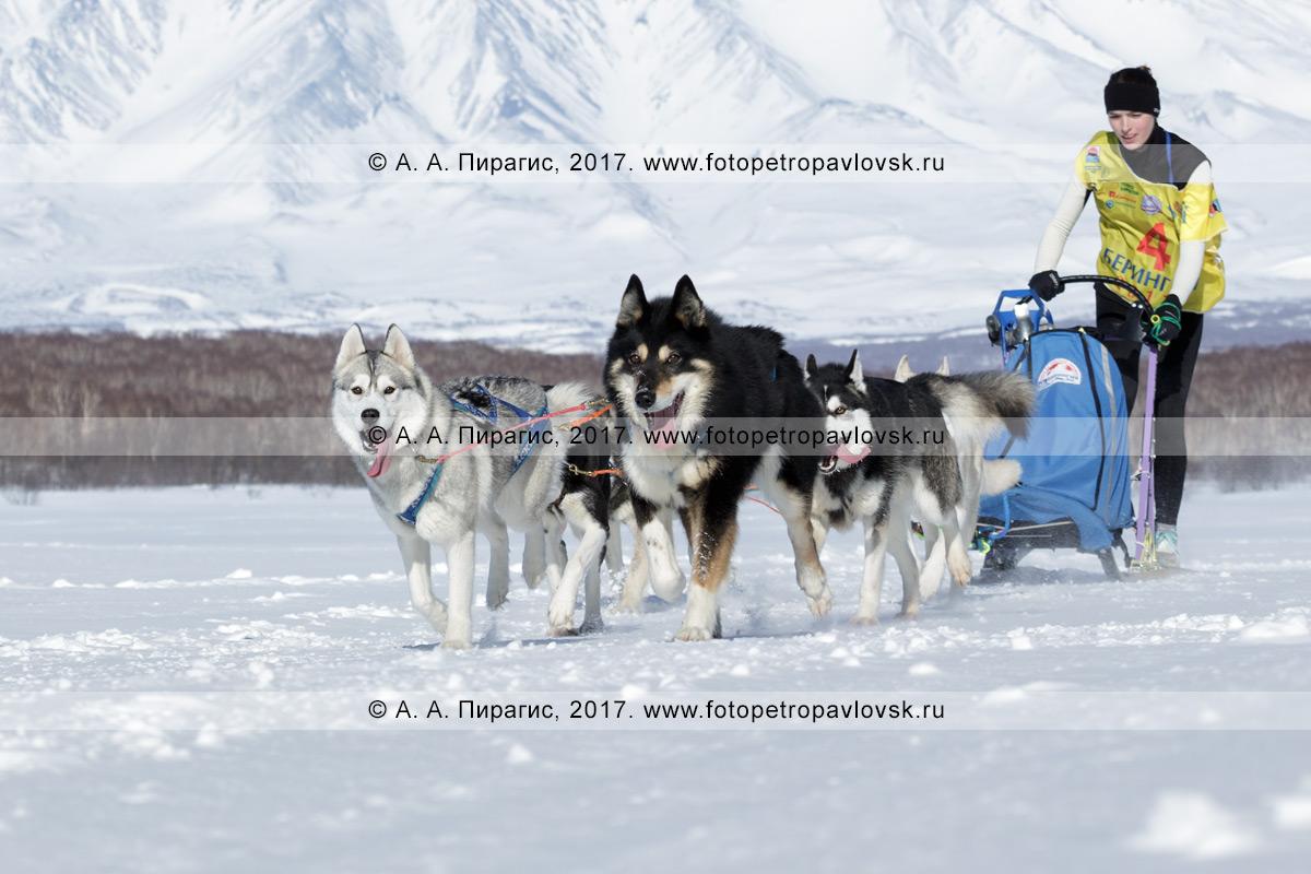 Фотография: петропавловский каюр Юлия Чирухина управляет своей собачьей упряжкой сибирских хаски и камчатских ездовых собак, бегущей по шахме в погожий зимний день, во время соревнований по снежным дисциплинам ездового спорта