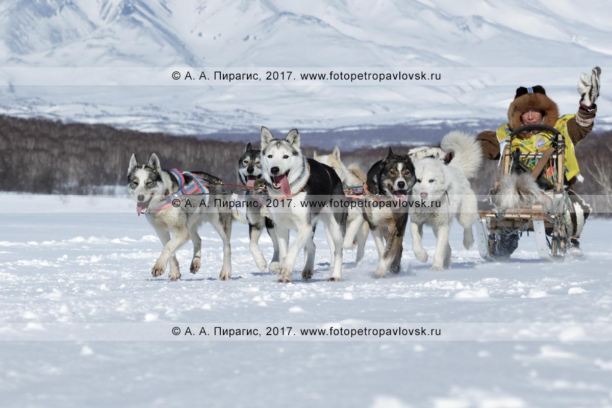 Фотография: камчатские ездовые собаки упряжки каюра Романа Мандятова бегут по шахме в камчатском лесу в зимний солнечный день