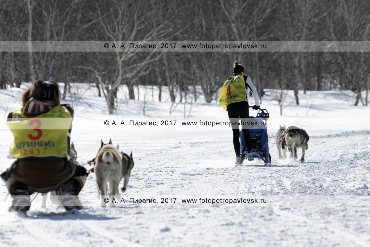 Фотография: упряжка каюра Юлии Чирухиной бежит по трассе соревнований по зимним дисциплинам ездового спорта на полуострове Камчатка