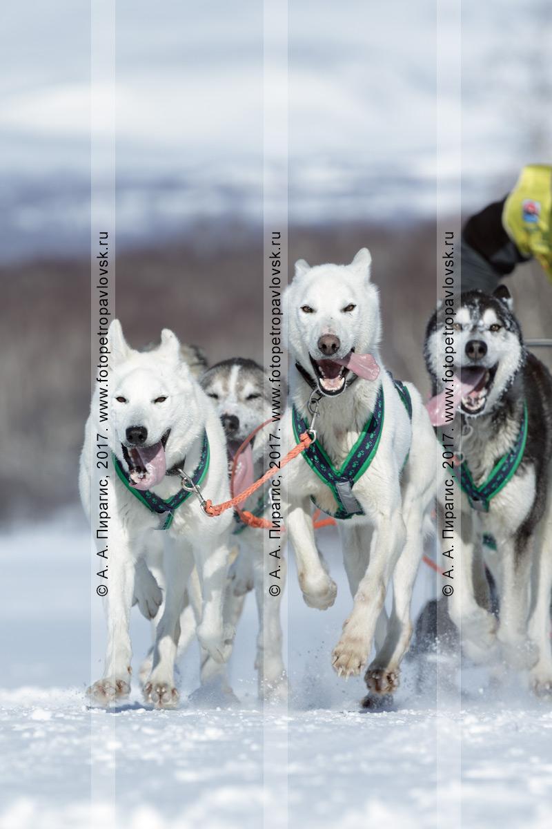 Фотография: упряжка ездовых собак породы аляскинский хаски мчится по трассе соревнований по снежным дисциплинам ездового спорта на полуострове Камчатка