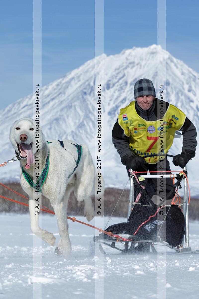 Фотография: камчатский каюр Алексей Ситников управляет собачьей упряжкой ездовых собак на фоне действующего Корякского вулкана в Камчатском крае