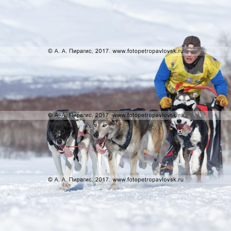 Фотография: участник соревнований по снежным дисциплинам ездового спорта камчатский каюр Семашкин Андрей мчится на собачьей упряжке камчатских ездовых собак