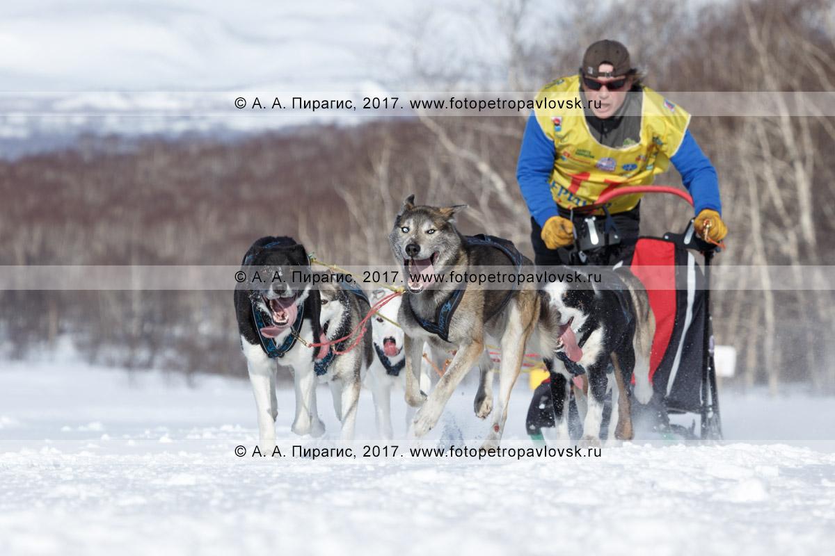 Фотография: камчатский каюр Андрей Семашкин управляет упряжкой породы камчатская ездовая собака во время соревнований по зимним дисциплинам ездового спорта на полуострове Камчатка