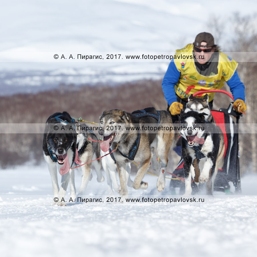 Фотография: упряжка ездовых собак породы камчатская ездовая собака бежит по трассе соревнований по снежным дисциплинам ездового спорта на полуострове Камчатка