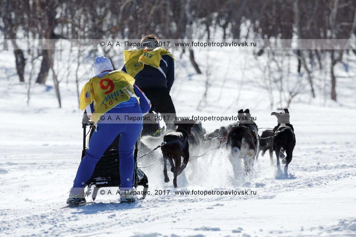 Фотография: собачьи упряжки под управлением каюров Ореховой Натальи и Никиты Ревенок мчатся по шахме во время соревнований по снежным дисциплинам ездового спорта на полуострове Камчатка