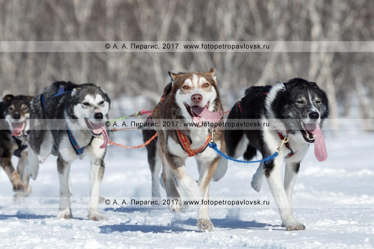 Фотография: аляскинские ездовые собаки бегут в упряжке по десятикилометровой трассе соревнований по снежным дисциплинам ездового спорта на полуострове Камчатка