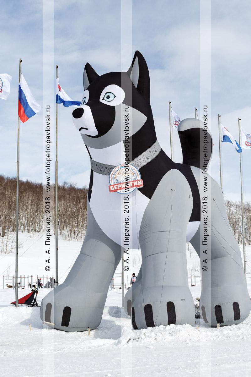 """Фотография: пневматическая 10-метровая фигура ездовой собаки породы хаски — символ традиционной камчатской гонки на собачьих упряжках """"Берингия"""""""