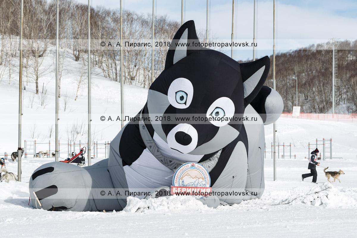 """Фотография: надувная фигура ездовой собаки породы хаски — талисман, символ камчатской традиционной гонки на собачьих упряжках """"Берингия"""""""
