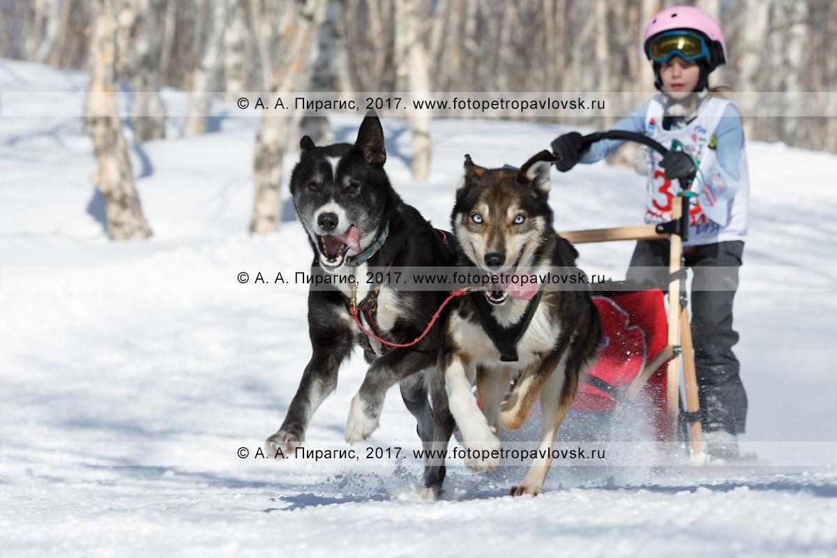 Фотография: камчатский каюр Семашкина Лидия, камчатская детская гонка на собачьих упряжках «Дюлин» («Берингия»)