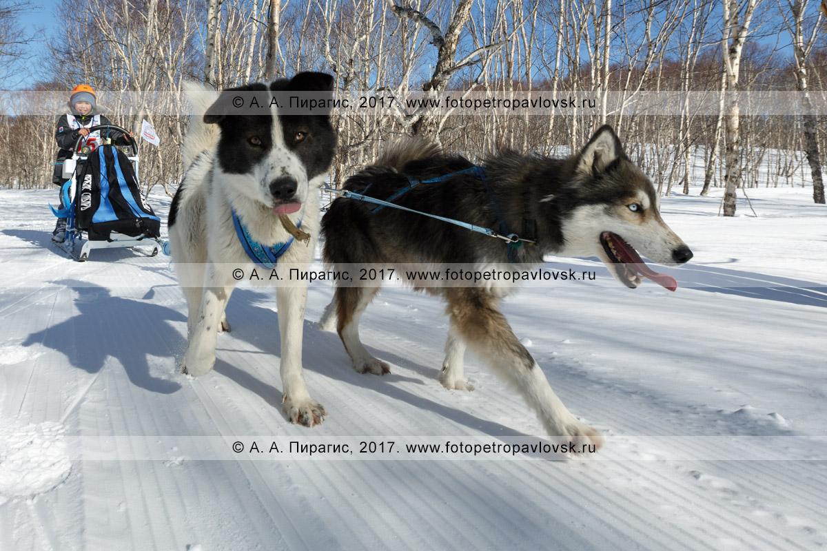 Фотография: камчатский каюр Нестеров Глеб, камчатская детская гонка на собачьих упряжках «Дюлин» («Берингия»)