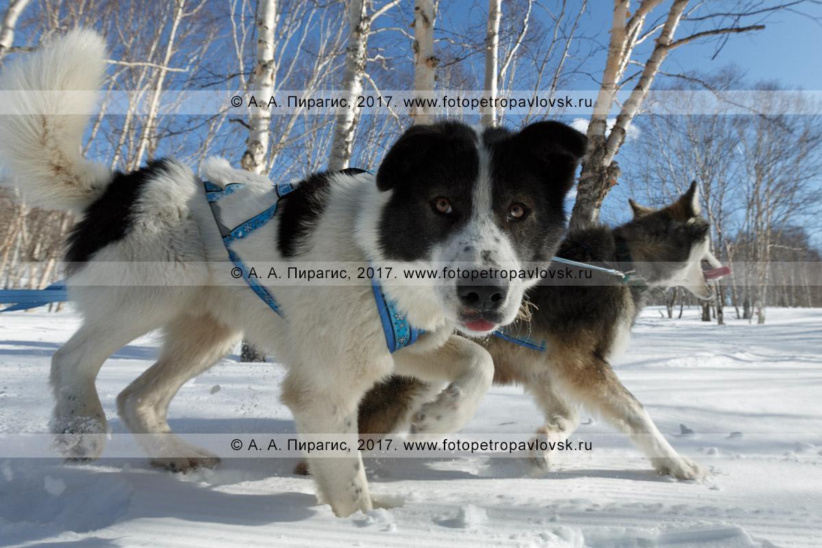 Фотография: ездовые собаки бегут по трассе детской гонки на собачьих упряжках «Дюлин» («Берингия»).