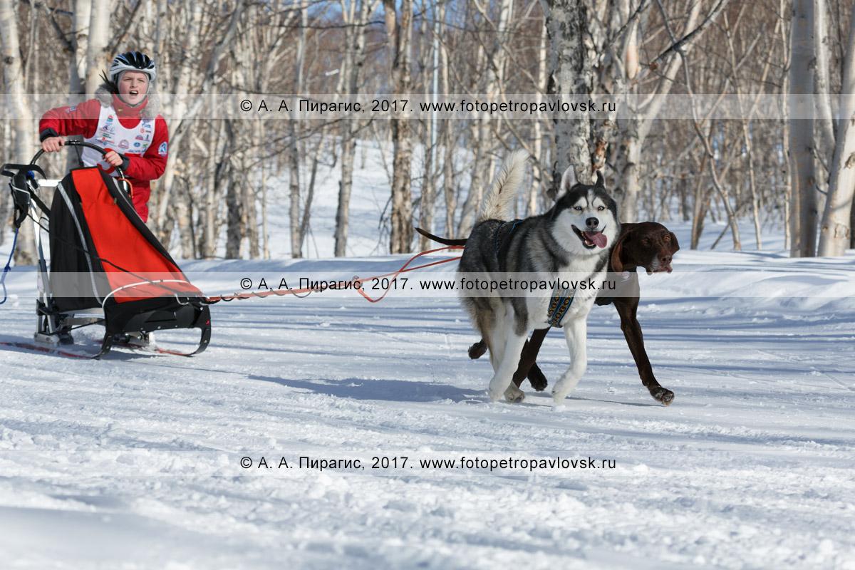 Фотография: камчатский каюр Даниил Березань, камчатская детская гонка на собачьих упряжках «Дюлин» («Берингия»)