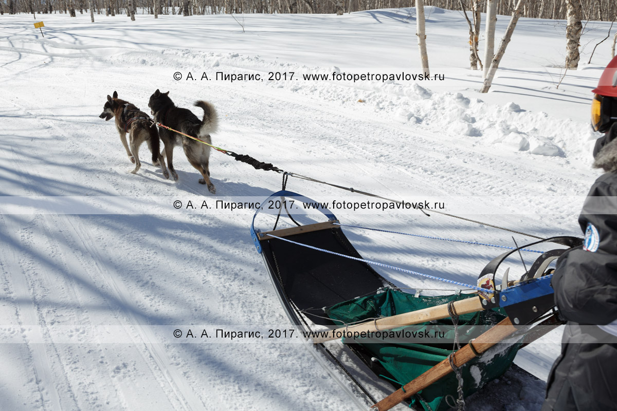 Фотография: детская гонка на собачьих упряжках «Дюлин» («Берингия»), ездовые собаки тянут собачью упряжку по зимней трассе