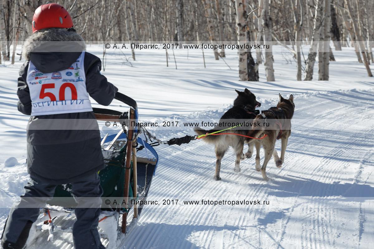 Фотография: камчатский каюр Хакимов Тимур, камчатская детская гонка на собачьих упряжках «Дюлин» («Берингия»)