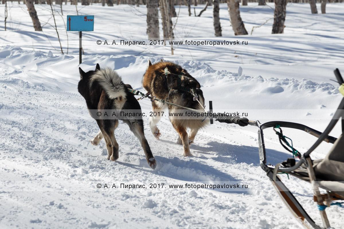 Фотография: ездовые собаки тянут упряжку по зимней трассе камчатской детской гонки на собачьих упряжках «Дюлин» («Берингия»).