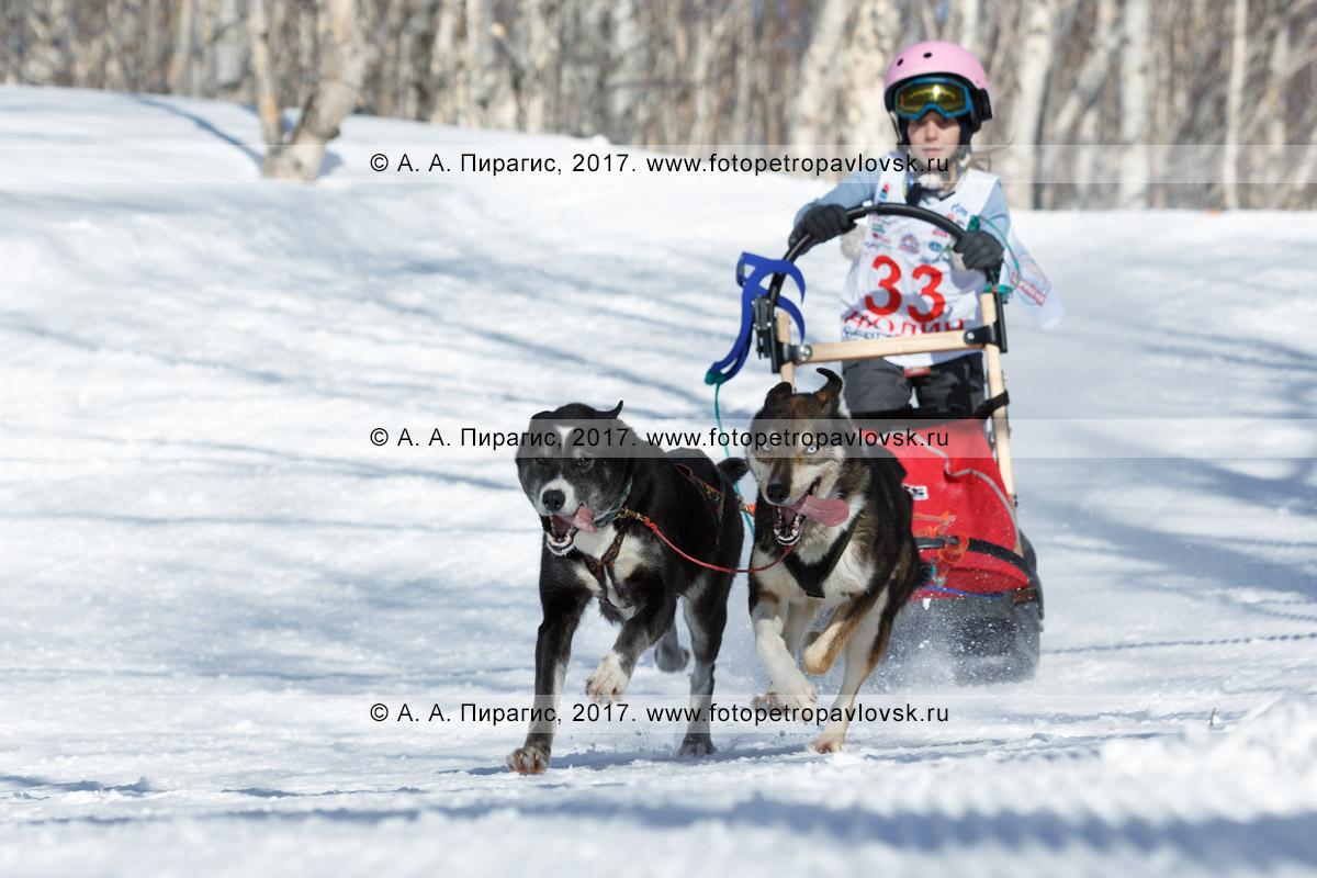 Фотография: по шахме детской гонки «Дюлин» («Берингия») бежит собачья упряжка, которой управляет юный камчатский каюр Лидия Семашкина