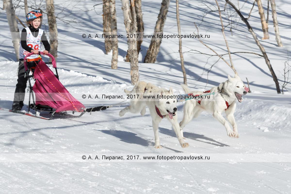 Фотография: камчатский каюр Валерия Ситникова, камчатская детская гонка на собачьих упряжках «Дюлин» («Берингия»)