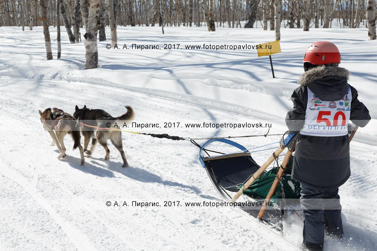 Фотография: камчатская детская гонка на собачьих упряжках «Дюлин» («Берингия»), камчатский каюр Хакимов Тимур