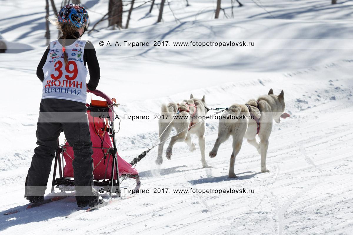 Фотография: камчатский каюр Ситникова Валерия, камчатская детская гонка на собачьих упряжках «Дюлин» («Берингия»)