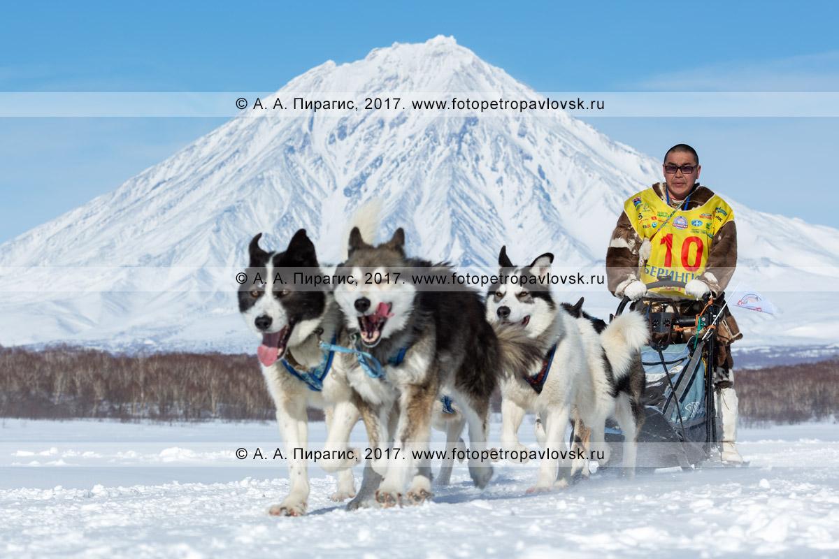 Фотография: камчатский каюр Иван Нивани, собачья упряжка породы лайка, гонка на собачьих упряжках «Берингия»