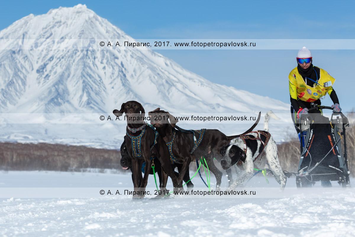 Фотография: бежит собачья упряжка породы норвежский метис и курцхаар, камчатский каюр Суслина Ксения, гонка на собачьих упряжках «Берингия»