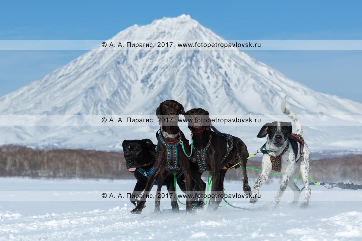 Фотография: собаки упряжки камчатского каюра Ксении Суслиной на трассе гонки-пролога на собачьих упряжках «Берингия» на фоне конуса Корякского вулкана на Камчатке