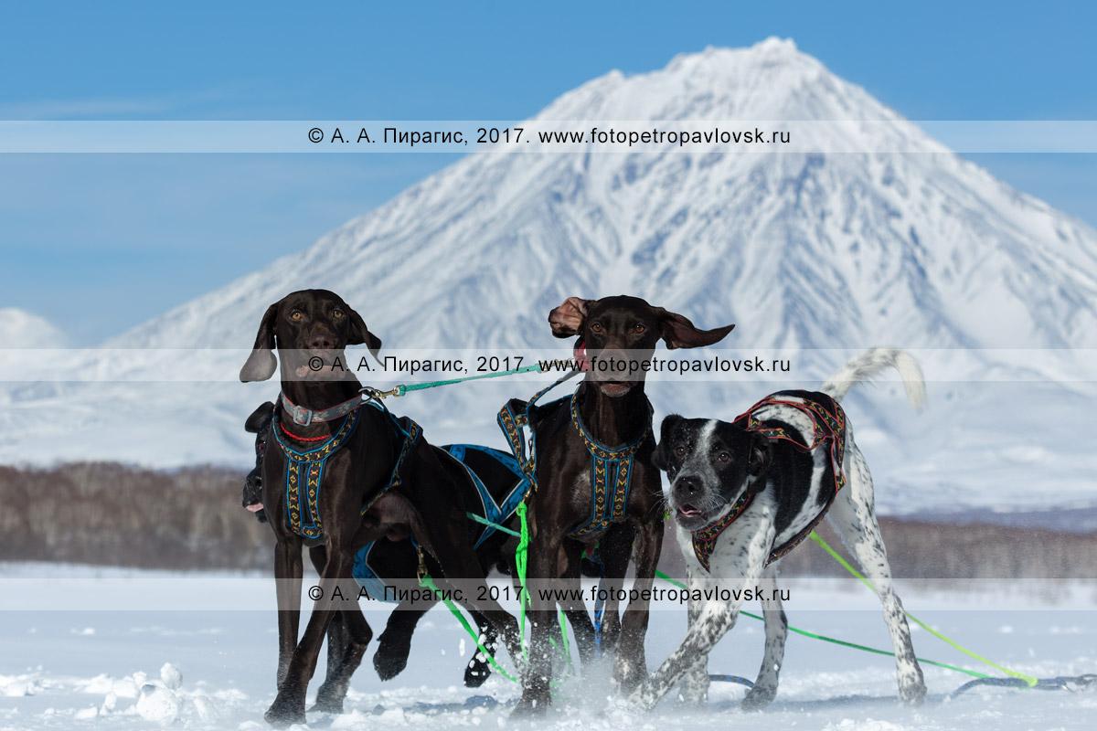 Фотография: ездовые собаки на фоне конуса стратовулкана Корякская сопка во время соревнований по зимним дисциплинам ездового спорта на полуострове Камчатка