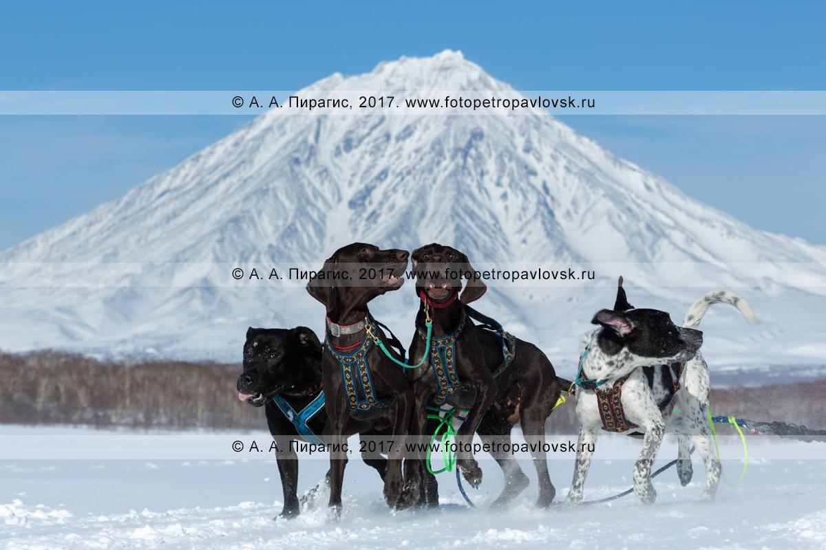 Фотография: ездовые собаки на трассе гонки-пролога на собачьих упряжках «Берингия» на фоне камчатского вулкана Корякская сопка