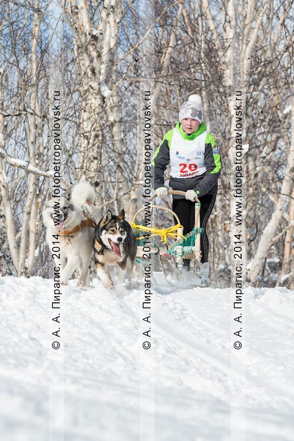 """Фотография: на трассе — упряжка юного каюра, участницы камчатской детской гонки на собачьих упряжках """"Дюлин, Берингия!"""""""