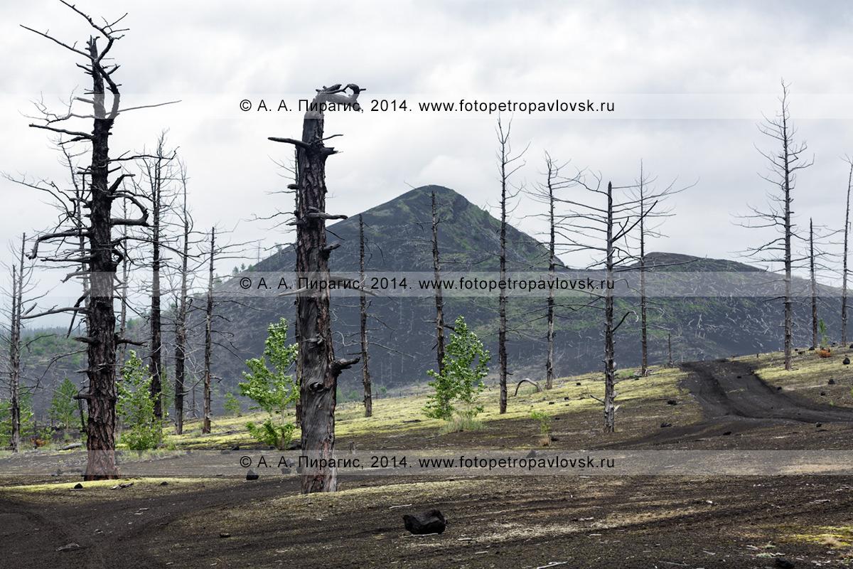 Фотография: драматичный вулканический ландшафт — Мертвый лес — последствие Большого трещинного Толбачинского извержения (БТТИ) 1975–1976 годов на полуострове Камчатка