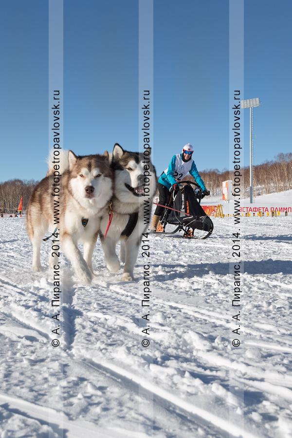 Фотография: гонка на собачьих упряжках. Чемпионат и первенство Петропавловска-Камчатского по зимним видам ездового спорта. Камчатка