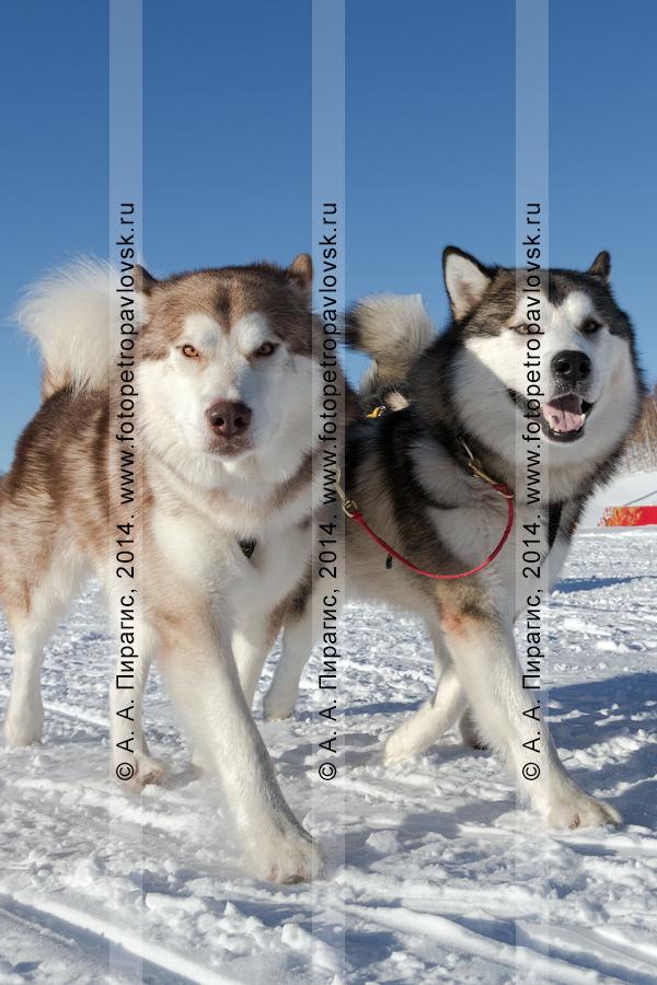 Фотография: ездовые собаки, запряженные в нарты. Чемпионат и первенство Петропавловска-Камчатского по зимним видам ездового спорта в дисциплине упряжки