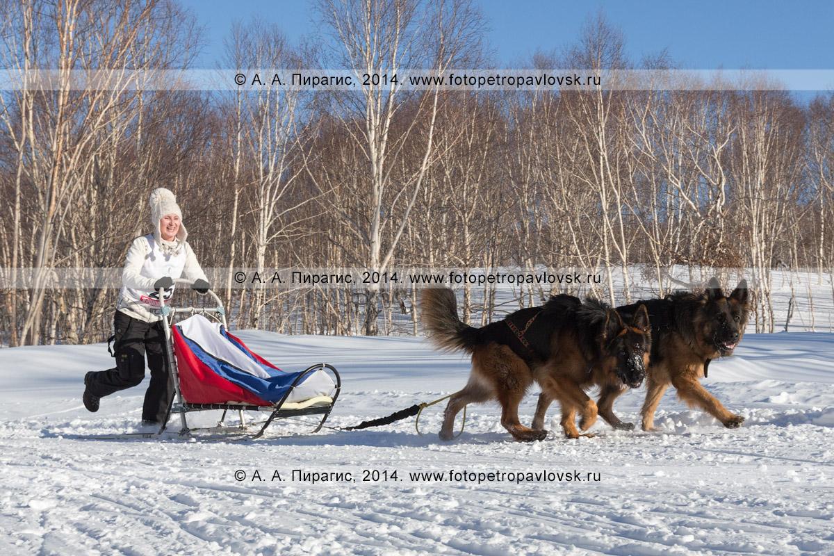 Фотография: камчатская гонка на собачьих упряжках. Чемпионат и первенство Петропавловска-Камчатского по зимним видам ездового спорта в дисциплине упряжки