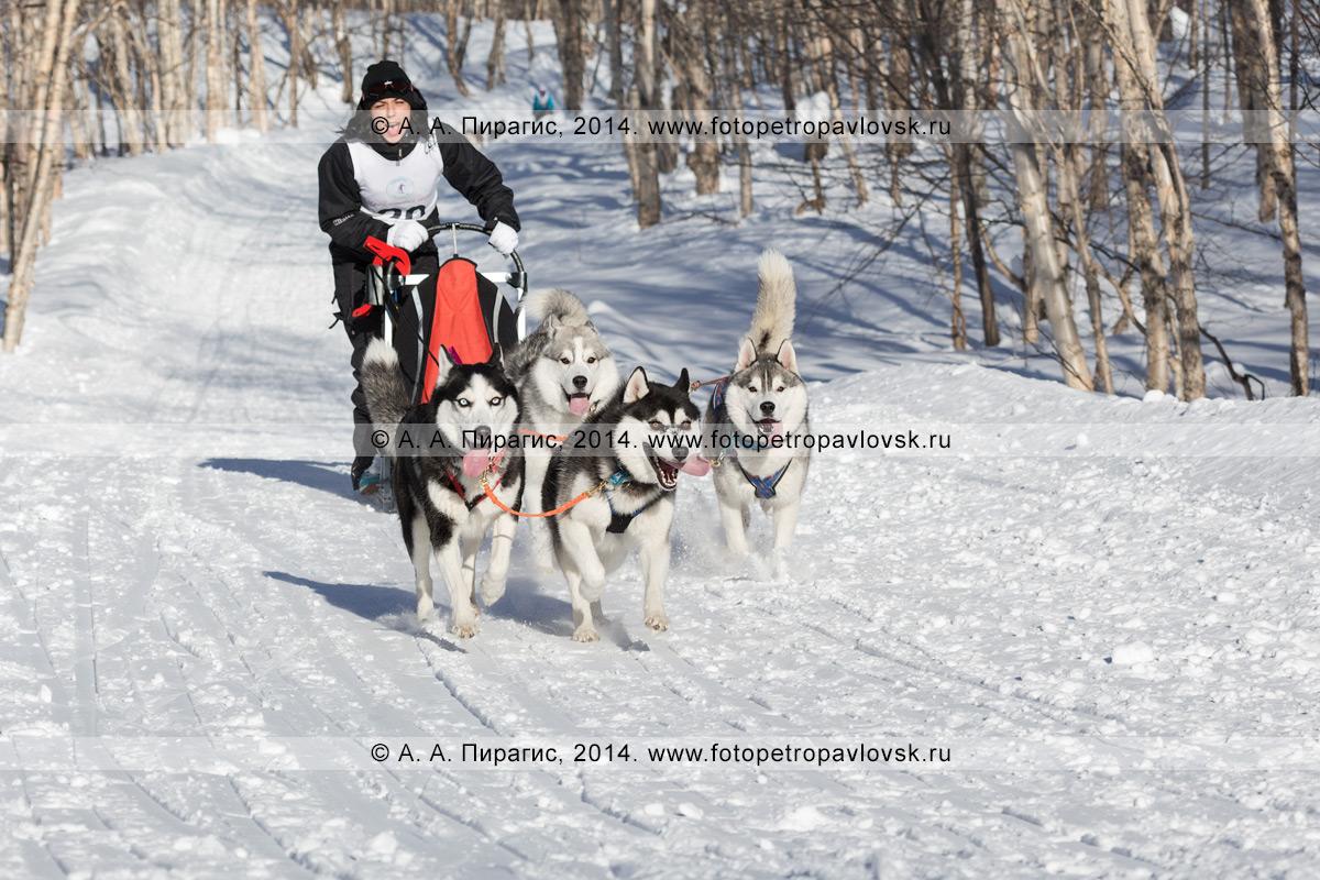 Фотография: гонка на собачьих упряжках на Камчатке. Чемпионат и первенство Петропавловска-Камчатского по зимним видам ездового спорта в дисциплине упряжки