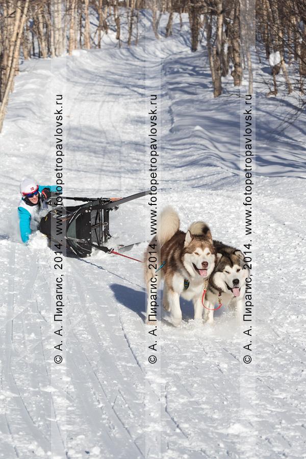 Фотография: камчатская спортсменка — участница гонки на собачьих упряжках. Чемпионат и первенство Петропавловска-Камчатского по зимним видам ездового спорта. Полуостров Камчатка