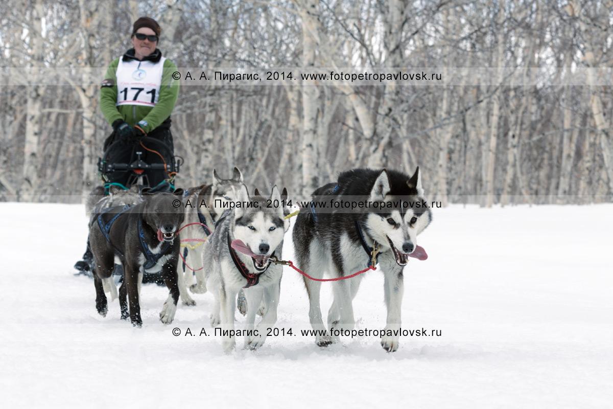 """Фотография: собачья упряжка (аляскинские хаски) бежит в камчатскому лесу, каюр — Семашкин Андрей. Камчатские соревнования по ездовому спорту в дисциплине """"упряжки"""" на дистанции 40 километров"""