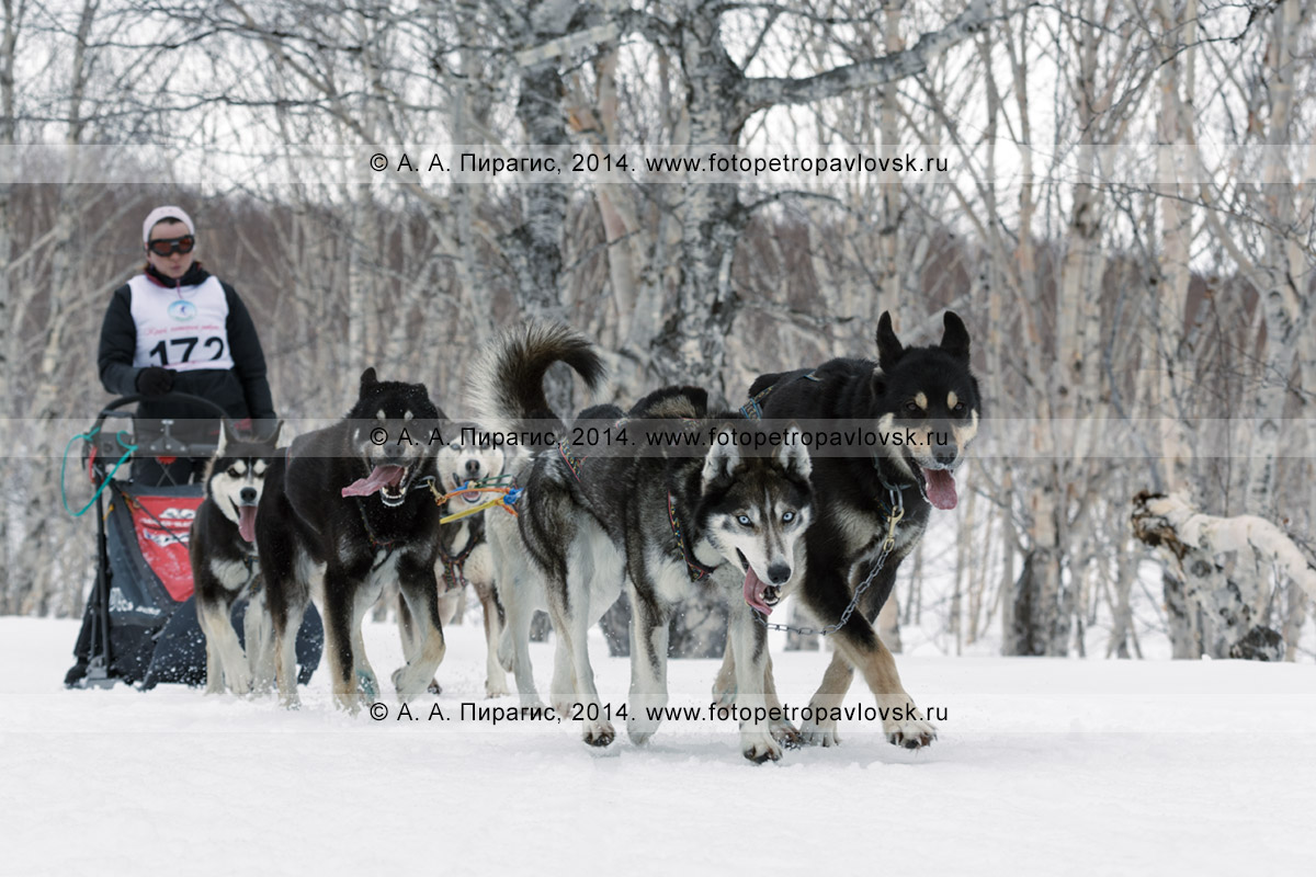"""Фотография: собачья упряжка (аляскинские хаски) бежит по камчатскому лесу, каюр — Семашкина Анастасия. Камчатские соревнования по ездовому спорту в дисциплине """"упряжки"""" на средние дистанции (40 километров)"""