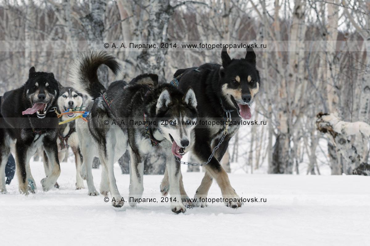 Фотография: собачья упряжка (аляскинские хаски) камчатского каюра Анастасии Семашкиной бежит по камчатскому лесу